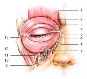 12 наружных прямых мышц глаз.